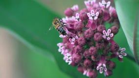 La abeja macra Agedly recolecta el néctar de las pequeñas flores al prado metrajes