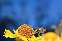 La abeja macra del insecto recoge el polen en una flor (el foco selectivo) Fotografía de archivo