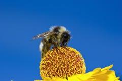 La abeja macra del insecto recoge el polen en una flor (el foco selectivo) Fotos de archivo