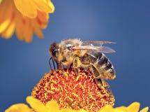 La abeja macra del insecto recoge el polen en una flor (el foco selectivo) Imagen de archivo libre de regalías