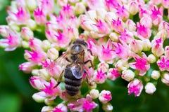 La abeja macra del insecto recoge el polen en una flor (el foco selectivo) Imágenes de archivo libres de regalías
