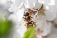 La abeja macra que volaba cerca de cereza floreciente empañó las alas Fotografía de archivo
