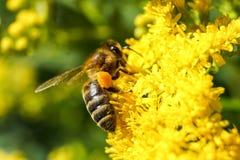 La abeja macra recoge el néctar de la flor de la mimosa imagenes de archivo