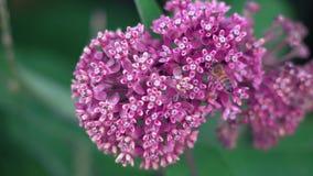 La abeja macra se arrastra en las flores rosadas y recolecta el néctar almacen de metraje de vídeo