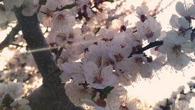 La abeja masculina recoge la miel en las flores del árbol