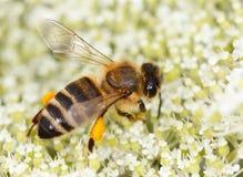 La abeja (mellifera de los Apis) recoge el polen Imagen de archivo libre de regalías