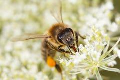 La abeja (mellifera de los Apis) recoge el polen Fotografía de archivo