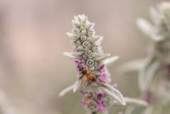 La abeja, mellifera de los Apis, recolecta el polen Fotografía de archivo libre de regalías