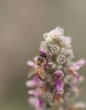 La abeja, mellifera de los Apis, recolecta el polen Imágenes de archivo libres de regalías