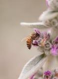 La abeja, mellifera de los Apis, recolecta el polen Imagen de archivo libre de regalías
