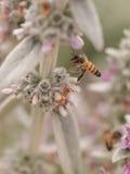 La abeja, mellifera de los Apis, recolecta el polen Fotos de archivo libres de regalías