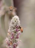 La abeja, mellifera de los Apis, recolecta el polen Fotografía de archivo