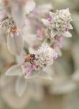 La abeja, mellifera de los Apis, recolecta el polen Imagenes de archivo