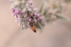 La abeja, mellifera de los Apis, recolecta el polen Imagen de archivo
