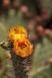 La abeja, mellifera de los Apis, recolecta el polen de la flor amarilla Fotos de archivo libres de regalías