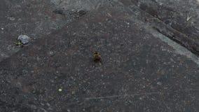 La abeja miente en una parte posterior e intenta volcar almacen de video
