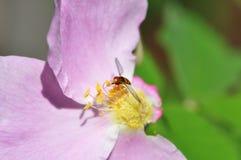 La abeja minúscula en un rosado se levantó Fotografía de archivo