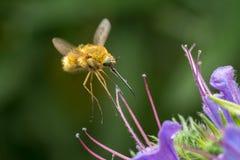 La Abeja-mosca grande (comandante de Bombylius) Fotos de archivo