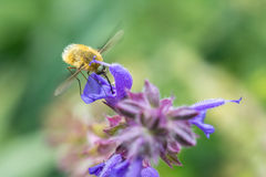 La Abeja-mosca grande (comandante de Bombylius) Foto de archivo