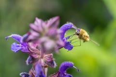La Abeja-mosca grande (comandante de Bombylius) Imagen de archivo libre de regalías
