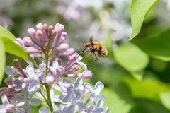 La abeja-mosca grande que se sentaba en la lila con verde empañó el fondo Imagen de archivo