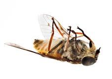 La abeja o la mosca muerta que miente encendido apoya en macro Foto de archivo