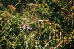 La abeja o manosea la abeja en wildflower rosado hermoso en montaña soleada Imágenes de archivo libres de regalías