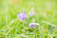 La abeja o la mosca en azafrán salvaje hermosa florece en otoño Fotos de archivo