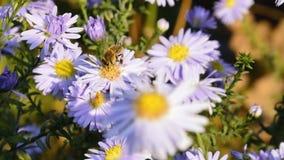 La abeja ocupada se está sentando en el flor violeta Imagenes de archivo