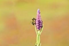 La abeja pasta en la lavanda Imagen de archivo libre de regalías