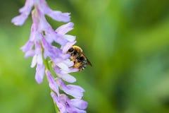 La abeja polinated las flores salvajes púrpuras violetas en fondo borroso verde Fotografía de archivo libre de regalías