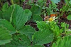 La abeja poliniza Fotografía de archivo