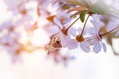 La abeja poliniza la cereza de la primavera Fotos de archivo