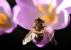 La abeja poliniza el azafrán Foto de archivo libre de regalías