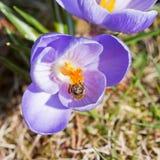 La abeja poliniza el azafrán Foto de archivo