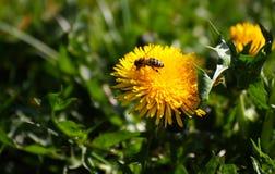 La abeja poliniza el diente de león Imágenes de archivo libres de regalías