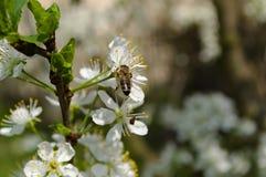 La abeja poliniza el flor de la manzana Foto de archivo libre de regalías