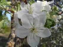 La abeja poliniza el manzano Fotografía de archivo libre de regalías