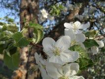 La abeja poliniza el manzano Foto de archivo libre de regalías
