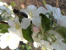 La abeja poliniza el manzano Fotos de archivo libres de regalías