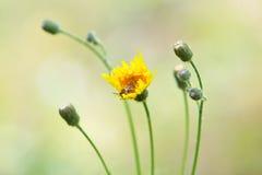 La abeja poliniza el wildflower amarillo Imágenes de archivo libres de regalías