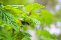 La abeja poliniza en la flor de la frambuesa, fondo de la naturaleza Fotografía de archivo libre de regalías