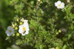 La abeja poliniza la flor Imagen de archivo libre de regalías