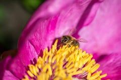 La abeja poliniza la flor de la peonía Insecto en una flor rosada Imagen de archivo libre de regalías