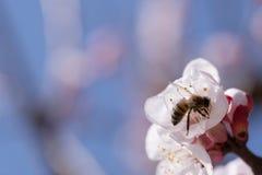 La abeja poliniza la flor del albaricoque Fotos de archivo