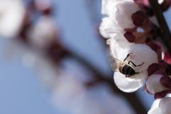 La abeja poliniza la flor del albaricoque Imágenes de archivo libres de regalías