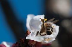 La abeja poliniza la flor del albaricoque Fotografía de archivo libre de regalías