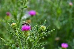 La abeja poliniza la flor púrpura en un prado verde Foto de archivo
