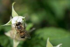 La abeja poliniza la flor Imágenes de archivo libres de regalías