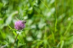 La abeja poliniza la flor Fotografía de archivo libre de regalías